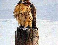 Birds 40 Red-Tailed Hawk on Fence Post, 1971 Robert Bateman sqs. Bateman, Роберт