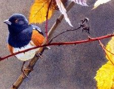 Birds 08 Spotted Towhee on Briar, 2001 Robert Bateman sqs. Bateman, Роберт