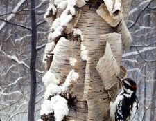 Birds 45 Hairy Woodpecker and Birch, 2001 Robert Bateman sqs. Bateman, Роберт