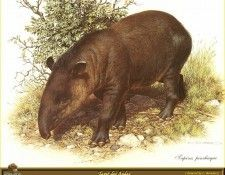PO ppa 57 Tapir des Andes. Brenders, Карл