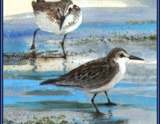 D50-AWE123-RB-Semipalmated Sandpiper. Bansemer, Роджер