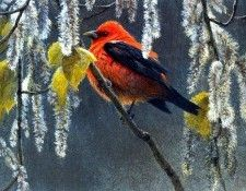 Birds 33 Scarlet Tanager and Alder Blossoms, 1999 Robert Bateman sqs. Bateman, Роберт
