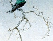 Birds 09 Violet-Green Swallow, 2001 Robert Bateman sqs. Bateman, Роберт