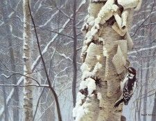 Bateman, Robert - Hairy Woodpecker on Birch (end. Bateman, Роберт