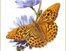 PO PButBr 10 Argynnis Paphia. Brenders, Карл
